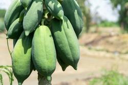 Close up of fresh green papaya fruits bunch on papaya tree in garden with copy space.