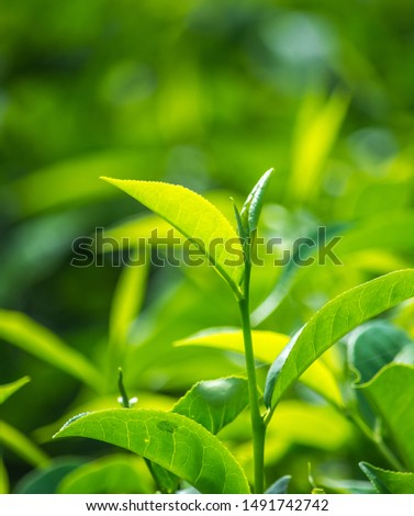 Close Up Of Fresh Green Tea Leaves
