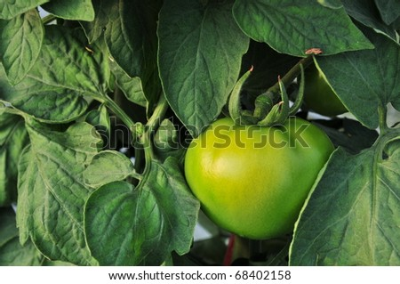 Close up of fresh green tomatoes still on the plant