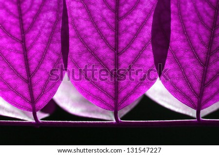 Close up of fresh leaves in forest (acacia) in lilac color