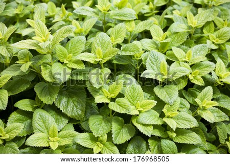 Close up of fresh mint background