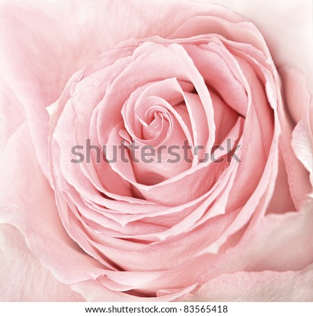 close-up of fresh pink rose flower - stock photo