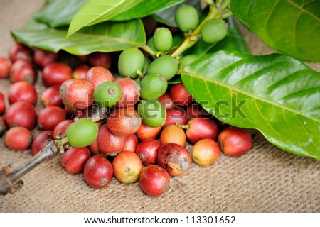 Close up of fresh raw coffee beans with leaf, selective focus.