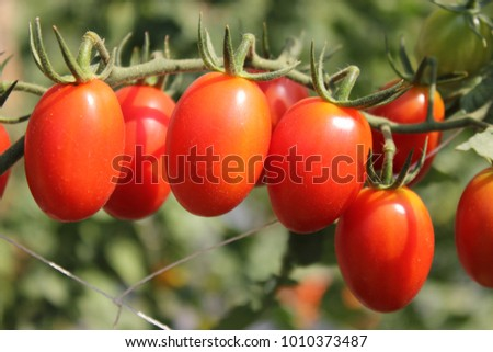 Close-up of fresh red tomatoes growing on a branch in the garden,Vegetable garden. #1010373487