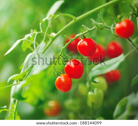 Close up of fresh red tomatoes still on tree plant