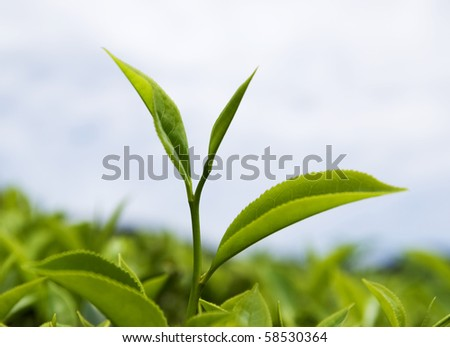close up of fresh tea leaves