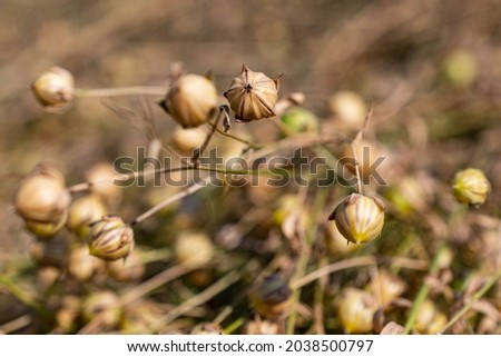 Close-up of freshly harvested flax bolls lying on the field for retting. Flax cultivation in Belgium. Stok fotoğraf ©