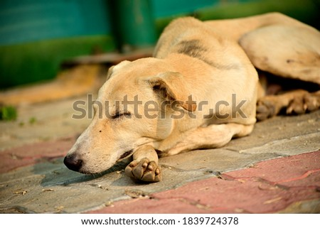Close-up of friendly Labrador dog seeping in park outdoor Stok fotoğraf ©
