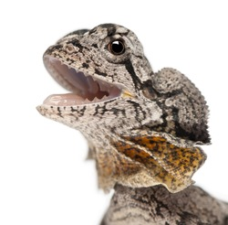 Close-up of Frill-necked lizard also known as the frilled lizard, Chlamydosaurus kingii, in front of white background