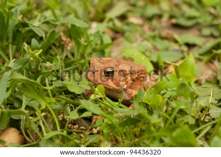 Close up of frog sitting in the grass looking at camera