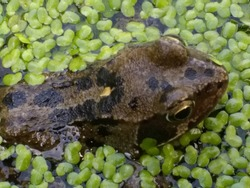 Close up of frogs head amphibians mating swimming water, bright eyes skin brown in organic garden pond in early Summer late Spring with light reflection and green algae type oxygen plant in fresh air