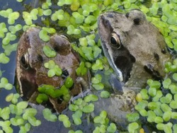 Close up of frogs heads amphibians mating eyes skin brown in organic garden pond in early Summer late Spring in water with light reflection and green algae type oxygen plant in fresh air day time
