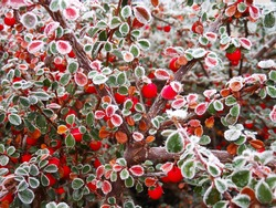 Close-up of frost red berries growing on tree during winter. Cotoneaster dammeri