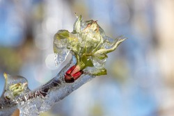 Close up of frozen branch with bud covered with ice. Bad weather condition in spring for fruit production