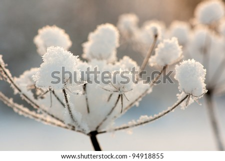 Close up of frozen dry plant with snow and ice crystals
