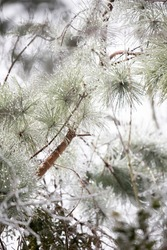 Close up of frozen, icy pine needles on a dreary, gray day