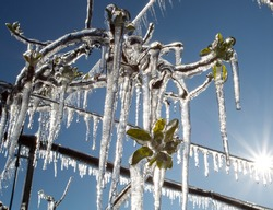 Close up of fruit tree branches with buds and freezers hanging from plant. Modern plant protection from frost by spraying