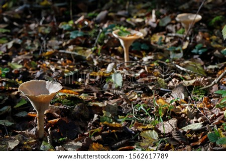 Close up of fungus (Clitocybe geotropa). Low depth of field (low depth of field) #1562617789
