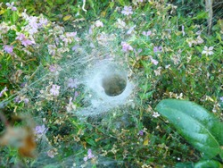 Close up of funnel weaving grass spider deep inside the tunnel, On flower heather in the garden.