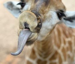 close up of funny giraffe