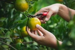 Close up of gardener hand picking an orange with scissor in the oranges field garden in the morning time.