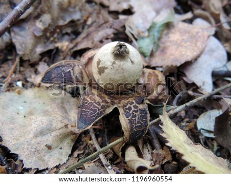Close up of Geastrum (orthographical variant Geaster), a genus of mushroom in the family Geastraceae, known commonly as earthstars. Poland, Europe