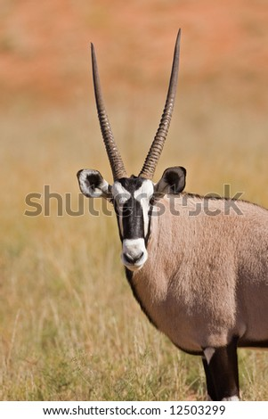 Close-up of Gemsbok ; oryx gazella; South Africa