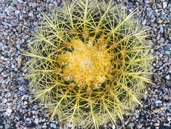 Close up of geometric barrel cactus with concentric spine pattern