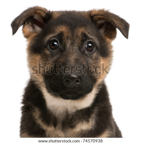 Close-up of German Shepherd puppy, 3 months old, in front of white ...