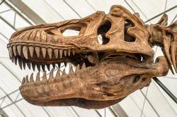 Close up of Giant Dinosaur or T-rex skeleton
