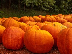 Close up of giant pumpkins await young jack-o-lantern fans for Halloween.