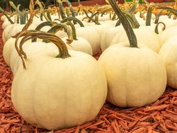 Close up of giant white pumpkins awaiting purchase at fall pumpkin market.