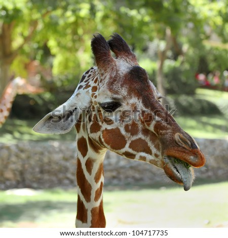 close up of giraffe face