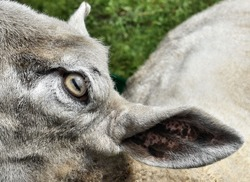 Close up of goats eye and ear