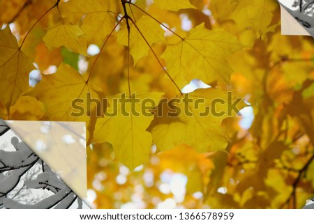 Close up of gold colored changing fall Maple leaves over bare branches with snow on them digitally manipulated to look peeled back. Concept of changing seasons