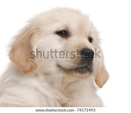 golden retriever dog names. of Golden Retriever puppy,