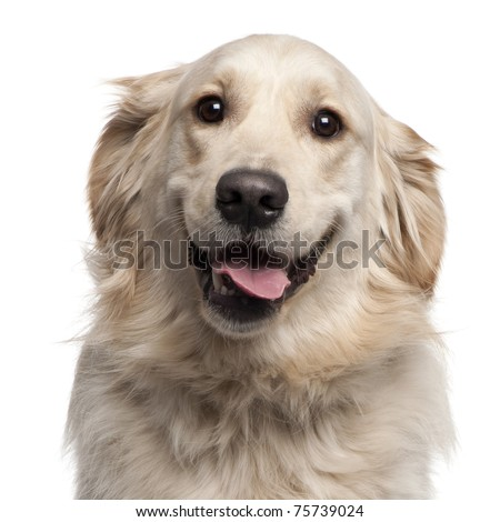 Close-up of Golden Retriever, 2 years old, in front of white background - stock photo