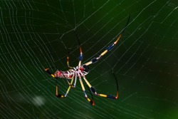 Close up of golden silk orb weaver, also commonly called a golden orb weaver, banana spider, or giant wood spider