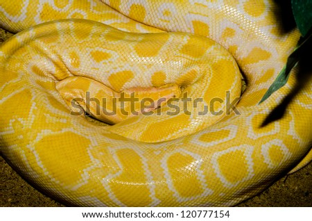 Close up of Golden Thai Python snake, Thailand.