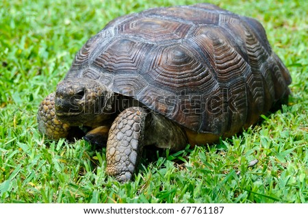 Close up of gopher tortoise in Florida, endanged animal