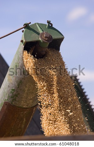 Close up of grains of wheat coming from a combine.