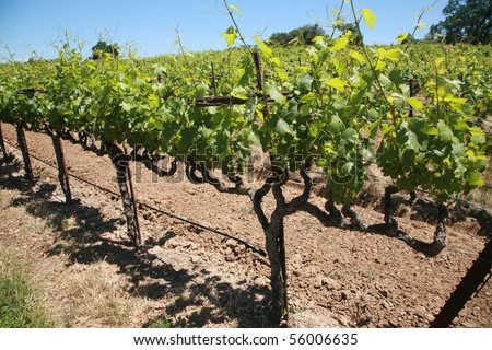 close up of grape vines and vineyards in northern california