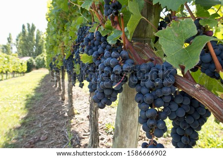 Close-up of grapes on vines in French vineyard