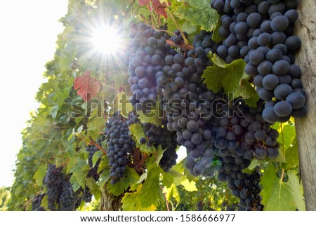 Close-up of grapes on vines in French vineyard with sunburst
