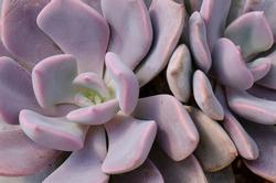Close up of Graptoveria Debbie ,Hybrid Echeveria Purple Succulent Plant Background