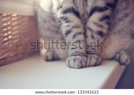 close-up of gray British cat paws sitting on the table
