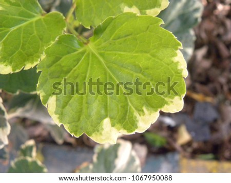 Close up of green and yellow color leaf of Variegated Geranium plant #1067950088