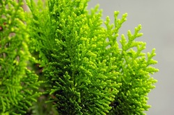 Close up of green Arborvitaes (Thuja spp.) leaves, in shallow focus, evergreen members of the cypress family