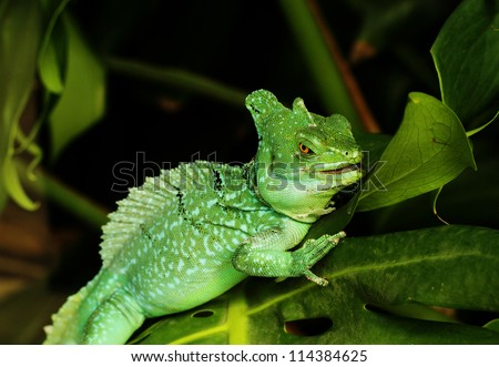 Close up of Green Basilisk Lizard (Basiliscus plumifrons)