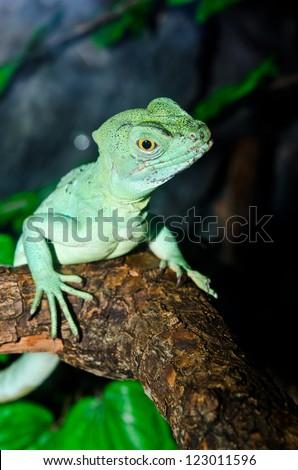 Close up of Green basilisk, Thailand.
